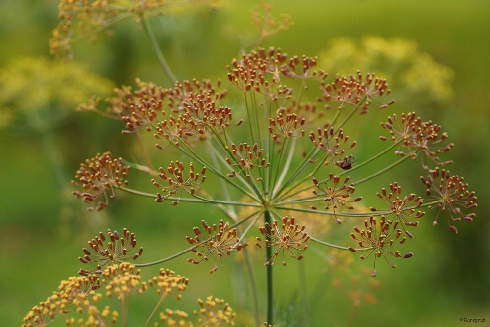 DSC09149 (fleur Koerper)