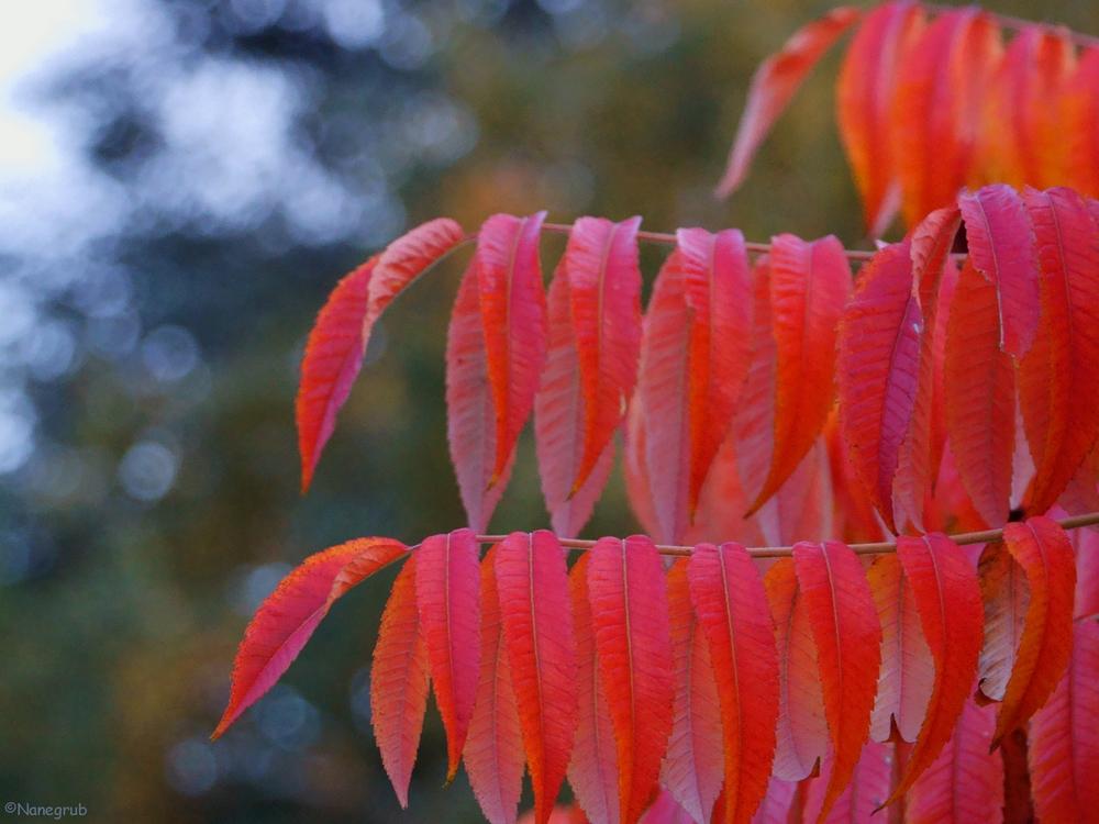 DSC09377 - (feuilles rouges - colmar - 22.10.2013)