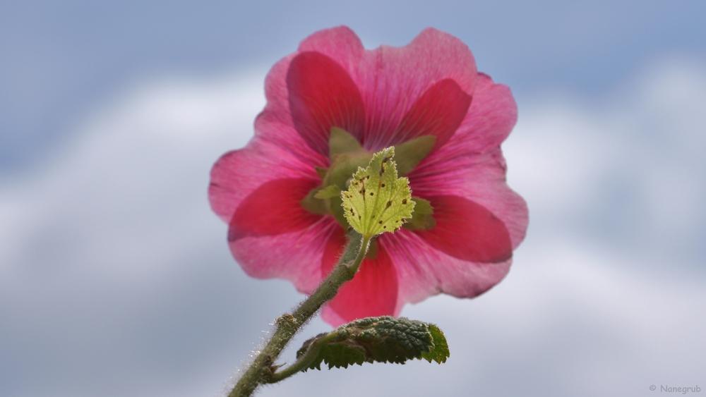 DSC01250 rose