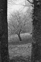 DSC03106 - Pommier dans la grisaille