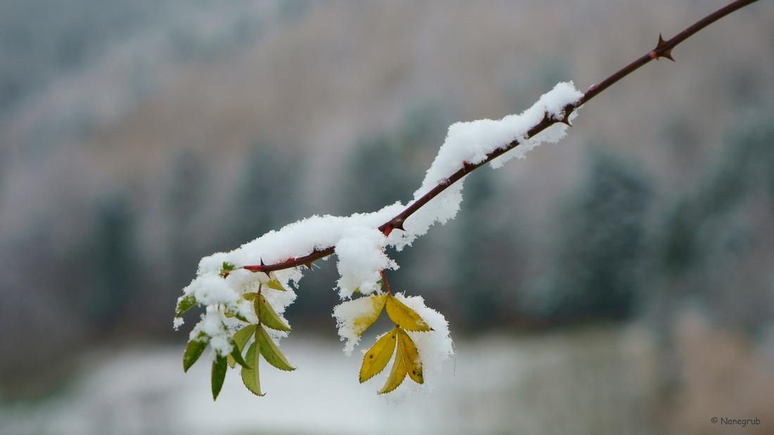Sengern - feuilles et neige DSC03180
