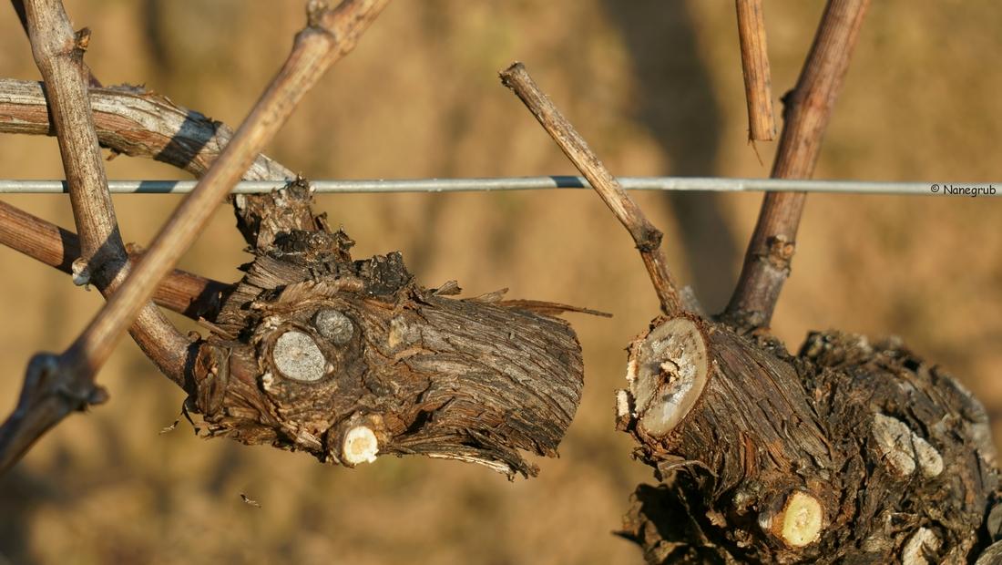 taille de la vigne - DSC00795