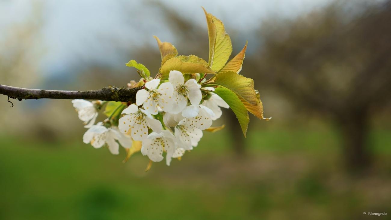 cerisier en fleurs - DSC03042