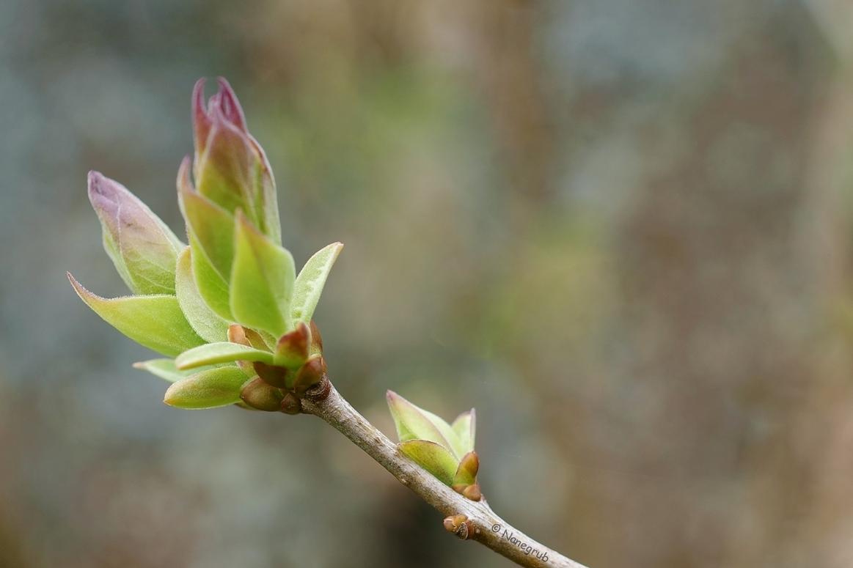 DSC02348 Bourgeons de lilas